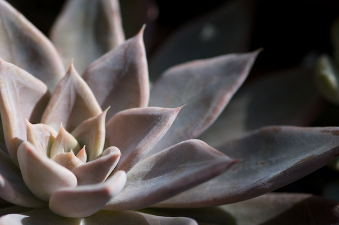 Echeveria affinis grey form('Silver Queen')