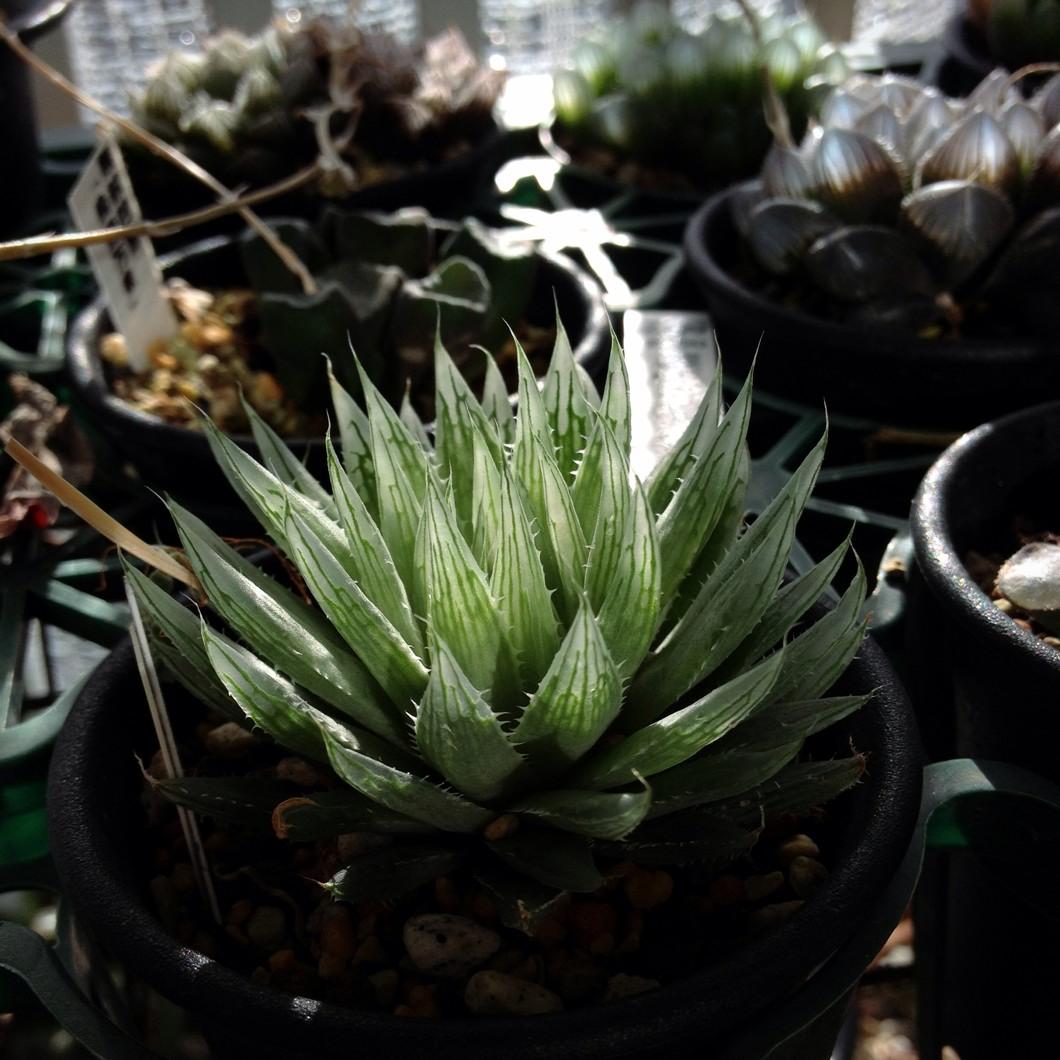 Haworthia cooperi var. gracilis MBB6614 Helspoort (type locality)