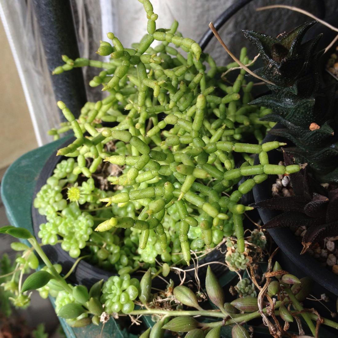 リプサリス・セレウスクラ Rhipsalis cereuscula