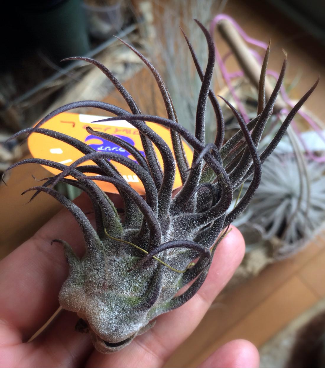 チランジア・プルイノーサ Tillandsia pruinosa