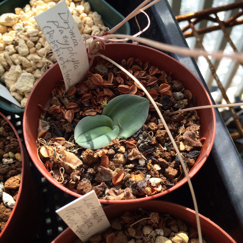 Drimia platyphilla ドリミア・プラティフィラ