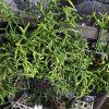 Rhipsalis cereuscula , Rhipsalis simmleri
