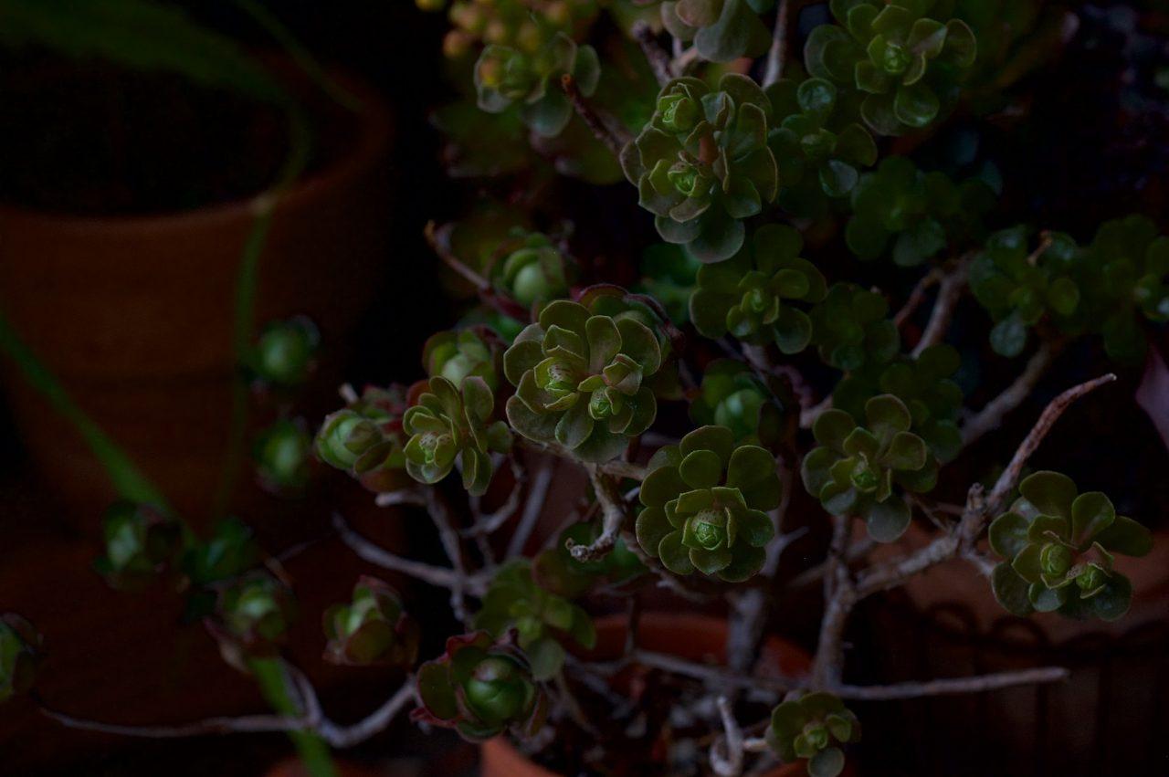 Aeonium saundersii & spathulatum