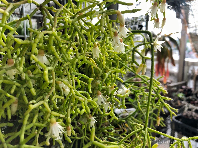 Rhipsalis cereuscula(リプサリス・青柳)