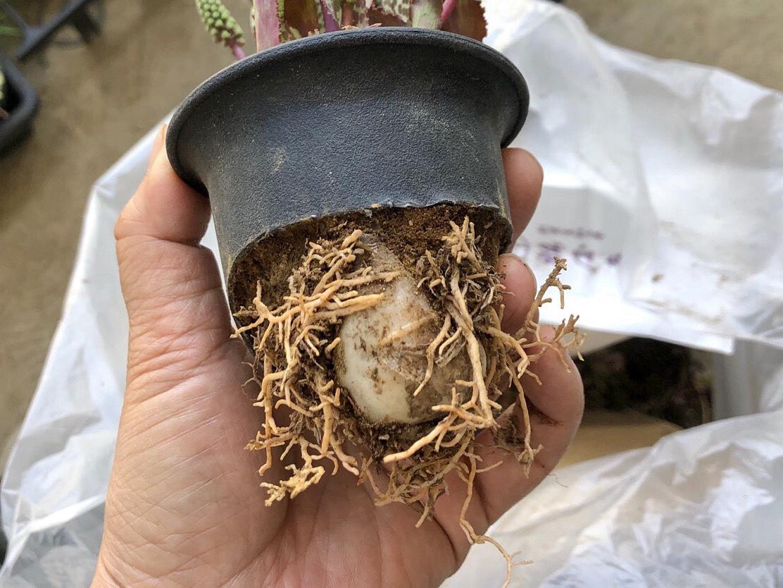 Drimiopsis purpureaの球根