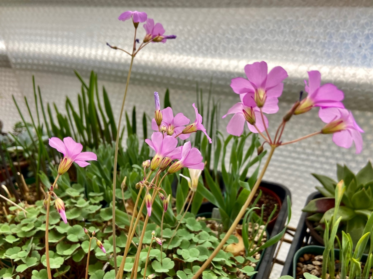 オキザリス・リビダの花