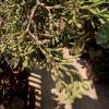 10年経っても猿が恋する葦サボテン、ハティオラ